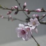 今年の桜は早い。でも大丈夫!
